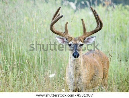 Whitetail deer buck in summer velvet.