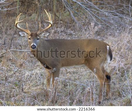 Whitetail deer buck in the open field. - stock photo