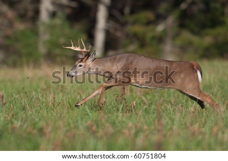 Whitetail deer buck running through a field