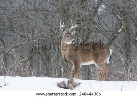 Whitetail Deer Buck standing in a woods in winter snow. - stock photo