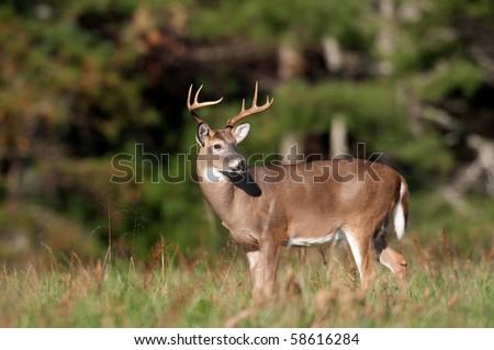 Whitetail deer buck standing in an open meadow - stock photo