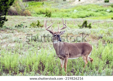 Whitetail deer buck standing in grassland - stock photo