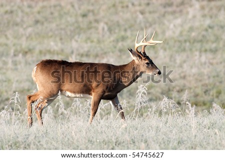 Whitetail deer buck walking through frosty field