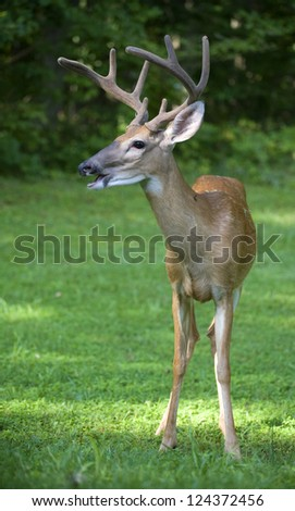 Whitetail deer buck with its mouth open like its a mouth breather