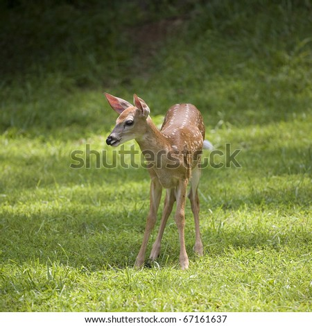 whitetail deer fawn in a green field wagging its tail - stock photo