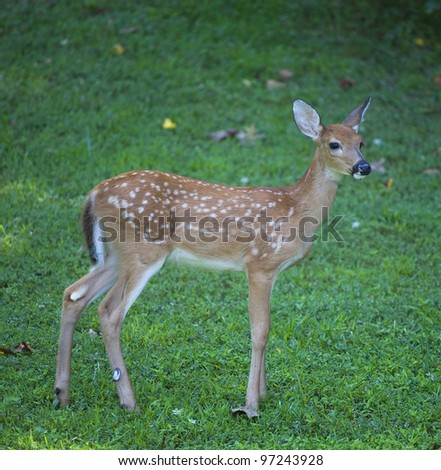 Whitetail deer fawn in spots that is on a green field - stock photo