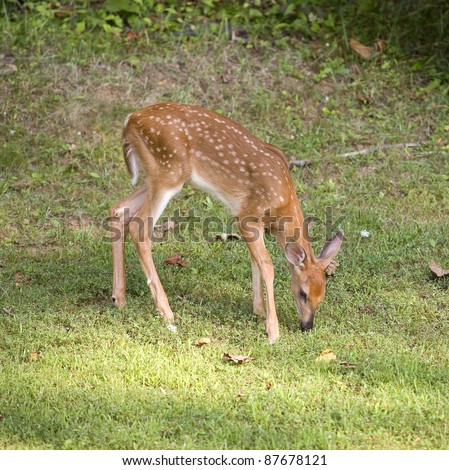 Whitetail deer fawn in spots that is sniffing the grass - stock photo