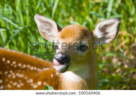 Whitetail Deer Fawn Licking It's Toung - stock photo