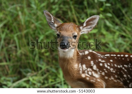 Whitetail deer fawn looking at me - stock photo