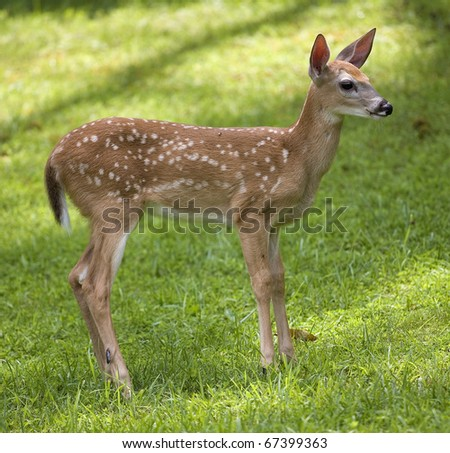 whitetail deer fawn on a grassy hill in the daylight - stock photo
