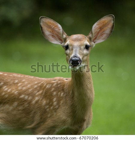 whitetail deer fawn portrait with a green and black background