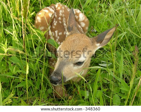 Whitetail deer fawn sitting in a field.