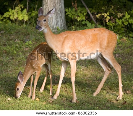 Whitetail deer fawn sniffing the ground with its doe - stock photo