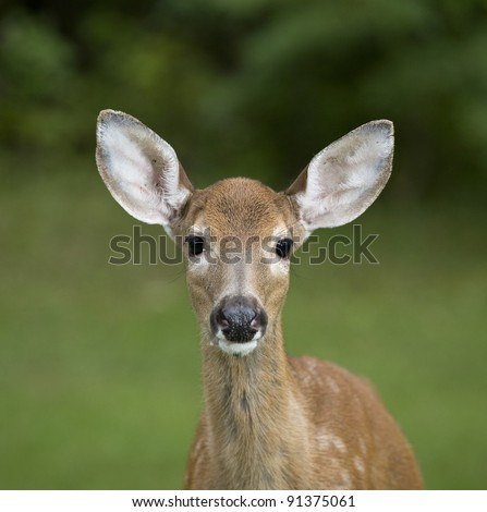 Whitetail deer fawn that is looking into the camera lens