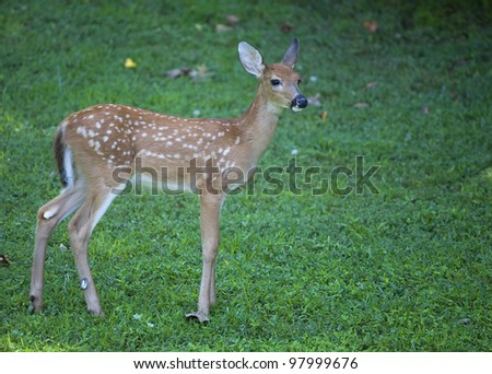 Whitetail deer fawn that is standing on a green field - stock photo