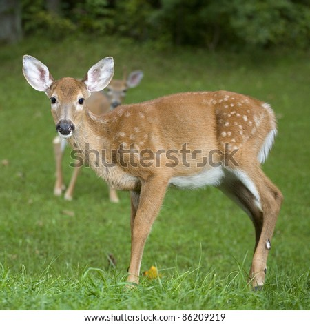 Whitetail deer fawn with a buck in the background out of focus - stock photo