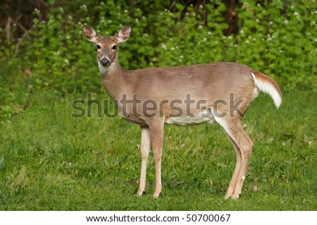 Whitetail deer side profile - stock photo
