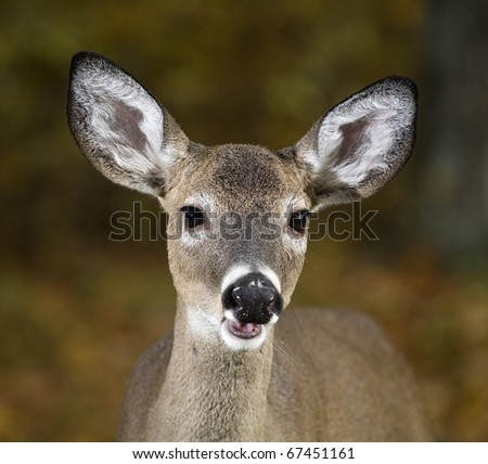 whitetail deer with its mouth open looking at the camera