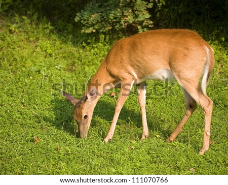 Whitetail doe that is eating grass near a dark forest. - stock photo