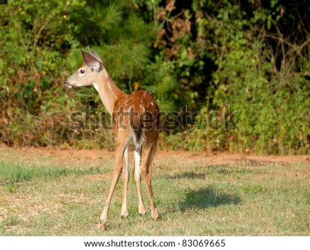 whitetail fawn in the wild rural georgia usa