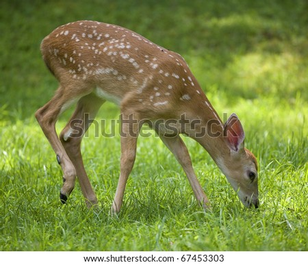whitetail fawn that is eating in a green field - stock photo