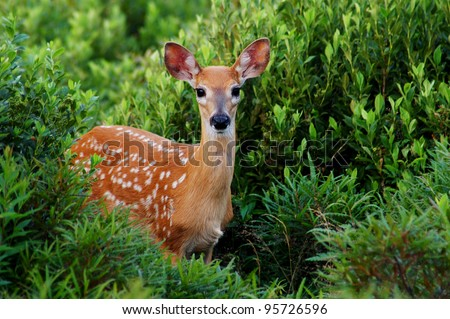 Whitetail Fawn Walking Out of Green Bush - stock photo