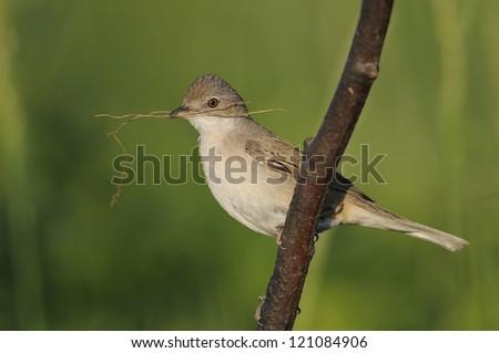 Whitethroat (Sylvia communis) - stock photo