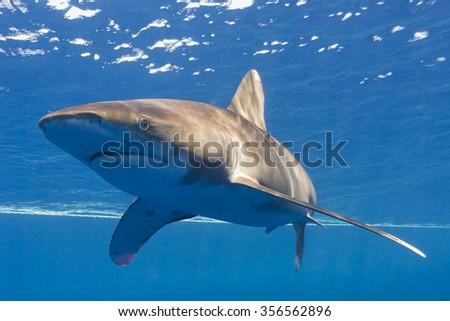 whitetip oceanic - stock photo