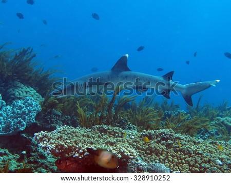 Whitetip reef shark (Triaenodon obesus) swimming over coral reef - stock photo