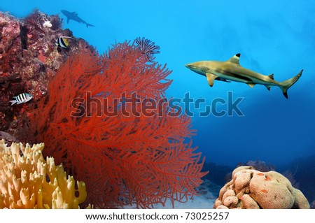 Whitetip sharks over coral reef - stock photo
