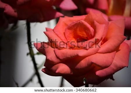 Who loves a rose , love and spikes . - stock photo