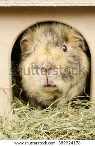 who's there? (US-Teddy guinea pig) - stock photo