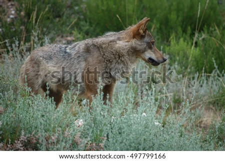 Whole Canis Lupus Signatus in the wild looking at the right side, side view