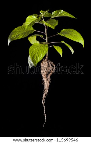 Whole habanero pepper plant with roots - stock photo