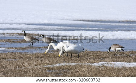 Whooper swan and Canada geese rest by a pond, bird migration. Birds in seasonal movement between breeding and wintering grounds. - stock photo