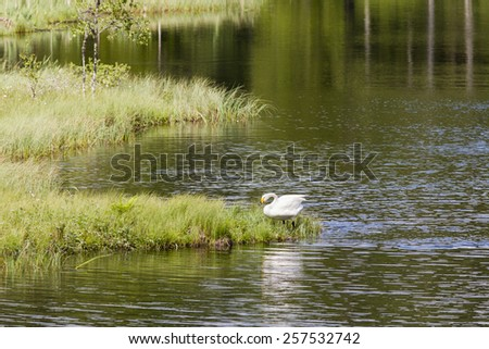 Whooper Swan at the forest lake in wilderness - stock photo