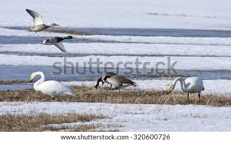 Whooper swan, Canada geese and mallards rest by a pond, bird migration. Birds in seasonal movements.