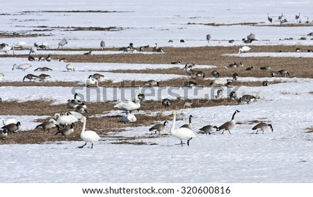 Whooper swan, Canada geese and other birds rest on a field, bird migration. Birds in seasonal movements. - stock photo