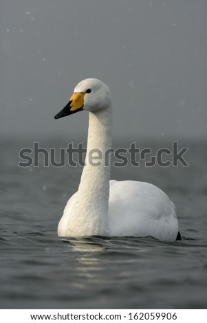 Whooper swan, Cygnus cygnus, single bird on water, Japan
