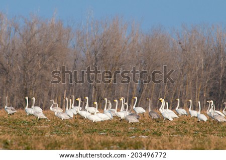 Whooper Swans (Cygnus cygnus) Flock in Winter - stock photo