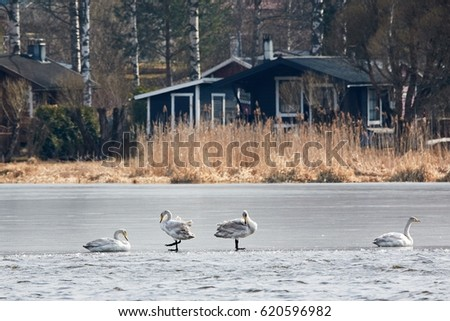 Whooper swans resting on the ice of frozen lake during the migration. Summer huts on the background.