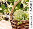 Wicker basket full of green grapes at harvest time - stock photo