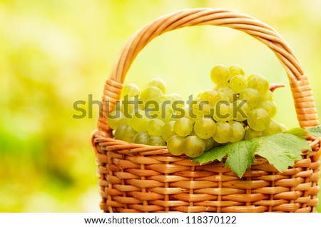 Wicker basket full of green grapes at harvest time