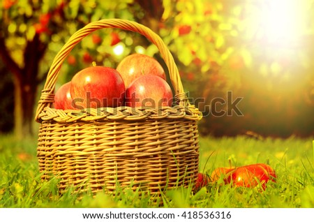 Wicker basket full of red apples in foreground and apple trees in background at sunset stylized to fall theme - stock photo