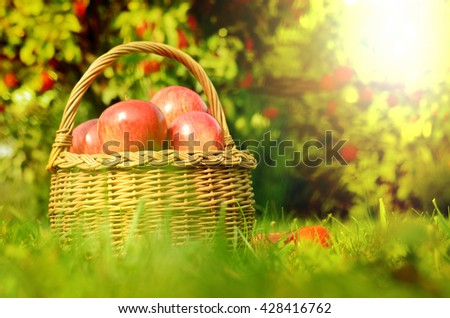 Wicker basket full of red apples in foreground and apple trees in background at sunset stylized to fall theme