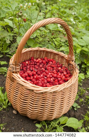 Wicker basket of wild strawberry near the plant.