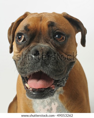 wide angle closeup portrait of male boxer dog