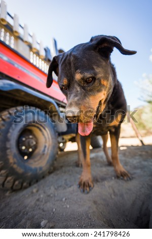 Wide angle head shot of a Rottweiler with dirt on her nose looking down in a olive grove in paso robles, ca. with a motorized cart in the background - stock photo