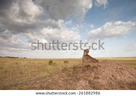 Wide angle landscape of Cheetah on termite mound in Masai Mara National Reserve, Kenya  - stock photo