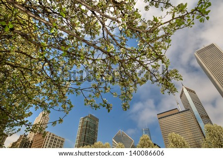 Wide angle of Chicago  city skyline framed by white cherry blossom.